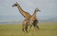 Visiter parc Amboseli