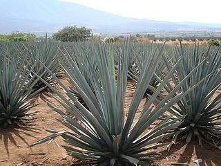 Paysage d'agaves et anciennes installations industrielles de Tequila